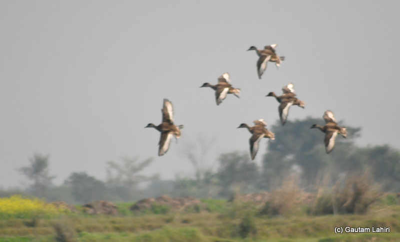 Bar-headed geese flying low over the lake attracted everyone's attention in Purbasthali by Gautam Lahiri
