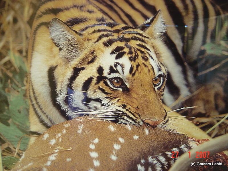 A tiger attacking its prey brought to life by the picture at Kanha's museum at Kanha forest by Gautam Lahiri
