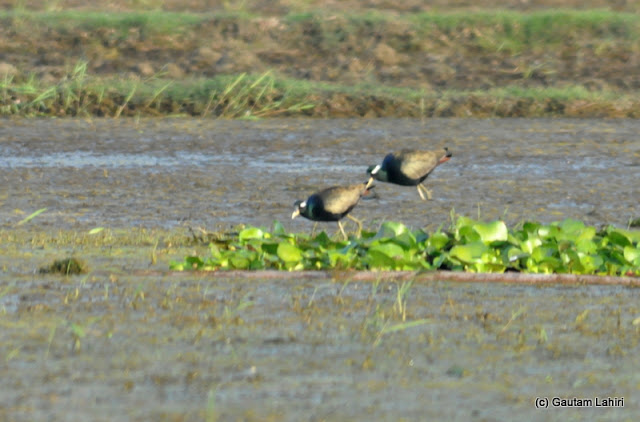 Two more Jacanas hunting for fish and shellfish along the shallow parts of the lake in Purbasthali by Gautam Lahiri
