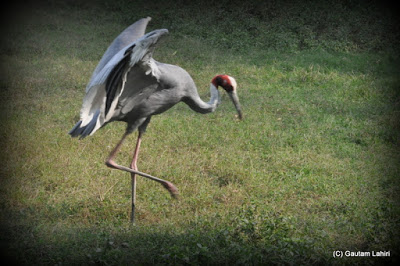 Tiptoeing on the grass with utmost care, a Saras Crane balances its wings seconds before it swoops on the food  at Kolkata, West Bengal, India by Gautam Lahiri