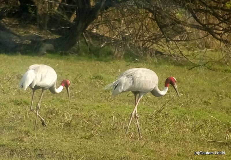 Two sarus cranes walking on the grass land at Keoladeo Sanctuary, Bharatpur Rajasthan taken by Gautam Lahiri