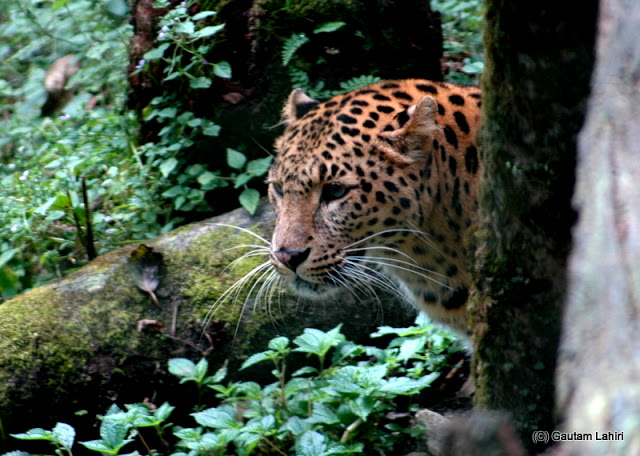 A Common leopard uses stealth and surprise to kill..it took quite an effort to locate the cat  at Darjeeling, West Bengal, India by Gautam Lahiri