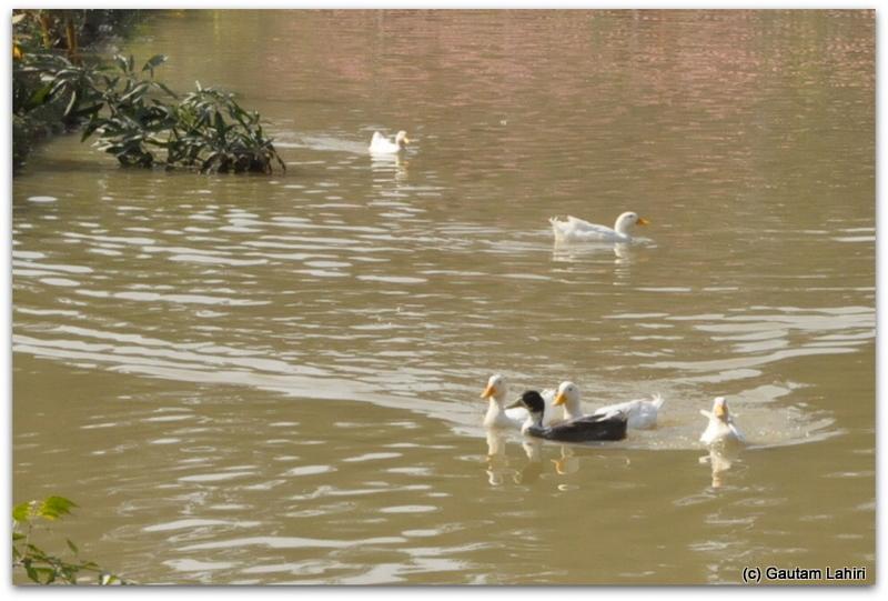 Ducks were having a field time on the lake surface at Joypur resort jungle, Bankura by Gautam Lahiri