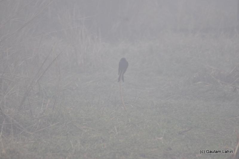 Black drongo at Bosipota by Gautam Lahiri