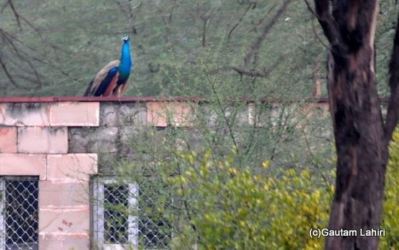 Peacock sitting on a building at Keoladeo Sanctuary, Bharatpur Rajasthan taken by Gautam Lahiri