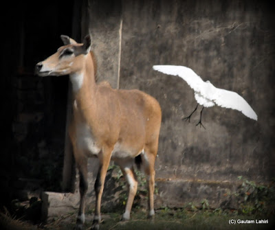 A Nilgai or Blue bull checks the enclosure as an egret comes to land to pick bugs off its back  at Kolkata, West Bengal, India by Gautam Lahiri