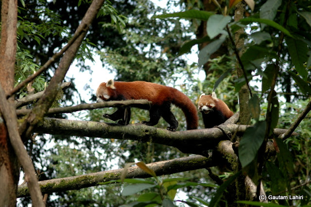 A pair of red pandas on a late afternoon walk across the tree branches  at Darjeeling, West Bengal, India by Gautam Lahiri